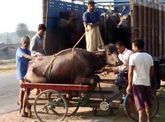 video bufalo in pericolo
