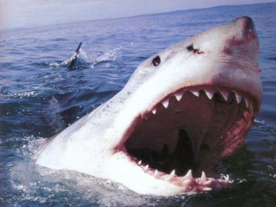 Specie di squalo - squalo bianco