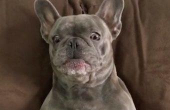 la reazione di questo bulldog al solletico è divertente.