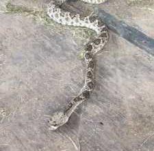 effetti del veleno morso serpente a sonagli