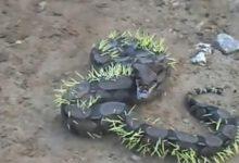 serpente ha cercato di mangiare un porcospino