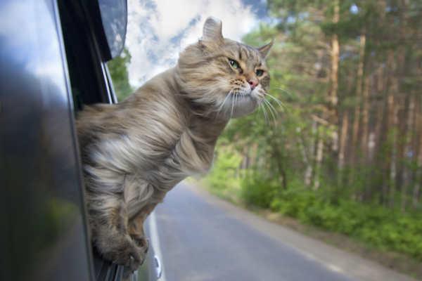 viaggiare in macchina con il gatto